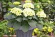 Ziekten bij hortensia's Groendekor Ukkel