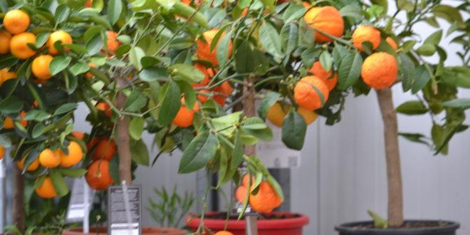 Fruitbomen in pot Groendekor Ukkel