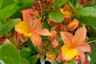 Planter Vivaces, Fleurs Annuelles, Halle Groendekor Sint-Pieters-Leeuw Tuinplanten bij Groendekor Planter Vivaces Fleurs Annuelles Halle 310x205