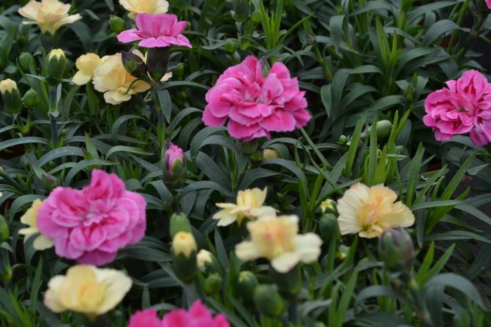 Boomkwekerij Vaste Planten België Bij boomkwekerij Abeels-Garden in België vindt u alle Soorten vaste Planten vivace6 960x600