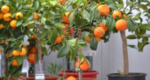 Fruitbomen in pot Groendekor Ukkel
