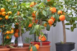 Fruitbomen in pot Groendekor Ukkel fruitbomen in pot groendekor sint-pieters-leeuw Fruitbomen in pot Groendekor Sint-Pieters-Leeuw orange 310x205